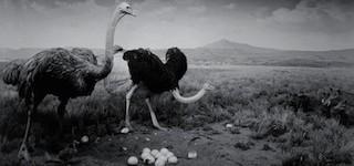 ostrich-warthog